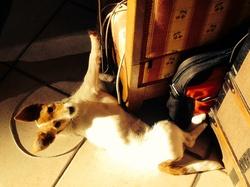 Joyce, chien Jack Russell Terrier