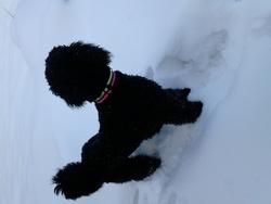 Joyce, chien Caniche