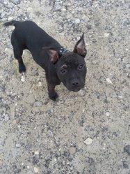 Joyce, chien Staffordshire Bull Terrier