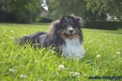 Joyce, chien Berger des Shetland