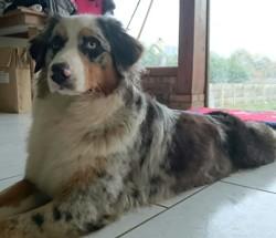 Joyce, chien Berger australien
