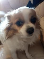 Joyce, chien Chihuahua