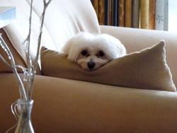 Joyce, chien Bichon maltais