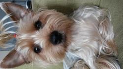 Joye, chien Yorkshire Terrier