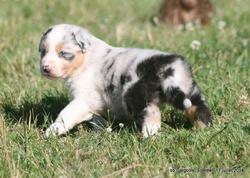 Joys, chien Berger australien