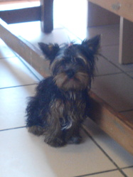 Joysi, chien Yorkshire Terrier