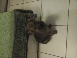 Juana, chien Berger belge