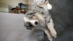 Jubia, chien Berger australien