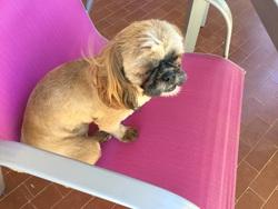 Juddy, chien Shih Tzu