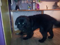 Jude, chien Terre-Neuve