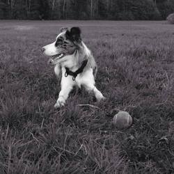 Jude, chien Border Collie