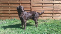 Jude, chien Flat-Coated Retriever