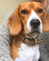 Judie, chien Beagle