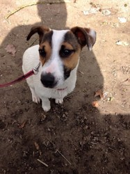 Judy, chien Jack Russell Terrier