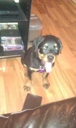 Judy, chien Rottweiler