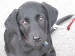 Juice, chien Labrador Retriever