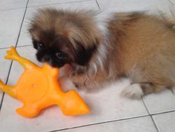 Juju, chien Pékinois