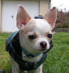 Juju, chien Chihuahua