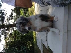 Juke, chien Berger australien