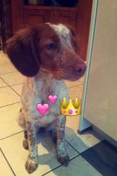 Juke, chien Épagneul breton