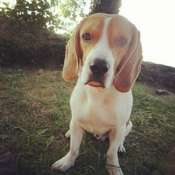 Juke, chien Beagle
