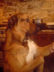 Jul, chien Berger d'Anatolie