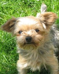 Jules, chien Yorkshire Terrier