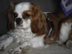 Jules, chien Cavalier King Charles Spaniel