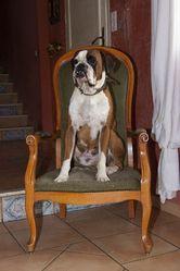 Jules, chien Boxer