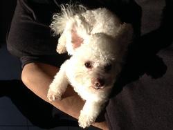 Jules, chien Bichon à poil frisé