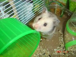 Jules, rongeur Hamster