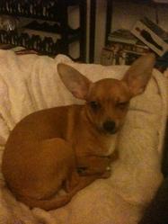 Jules, chien Chihuahua