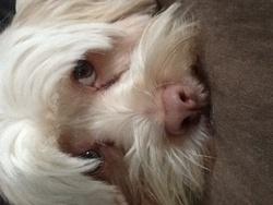 Jules, chien Coton de Tuléar
