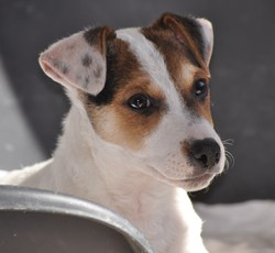 Jules, chien Jack Russell Terrier