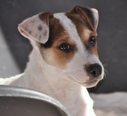 Jules, chien Jack Russell Terrier