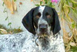 Jules, chien Braque allemand à poil raide