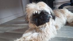 Jules, chien Shih Tzu