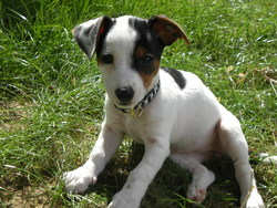 Julia, chien Jack Russell Terrier