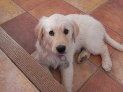 Julia, chien Golden Retriever