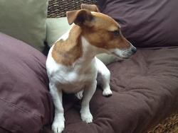 Julia , chien Jack Russell Terrier