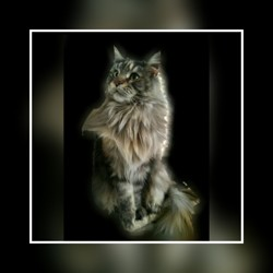Julia Coondumaine, chat Maine Coon
