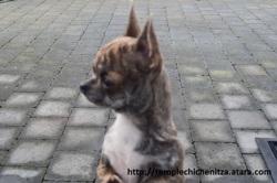 Julia D'Ambre, chien Chihuahua