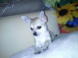 Julian, chien Chihuahua