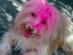 Ehnie, chien Griffon fauve de Bretagne