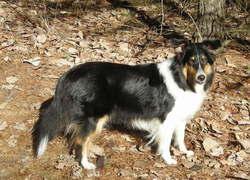 Julie, chien Berger des Shetland
