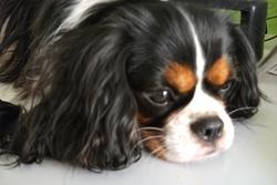 Julie, chien