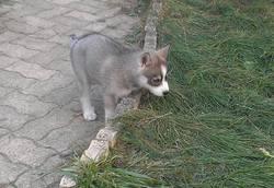 Julie, chien Husky sibérien
