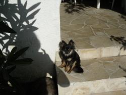 Julie, chien Chihuahua