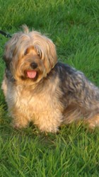 Julie, chien Yorkshire Terrier