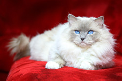 Julie De Ragdelight, chat Ragdoll